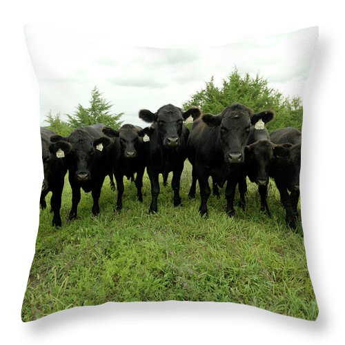 Grass Throw Pillow featuring the photograph Black Angus Cows by Xpacifica