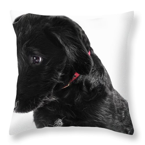 Pets Throw Pillow featuring the photograph Black Labradoodle by Gandee Vasan