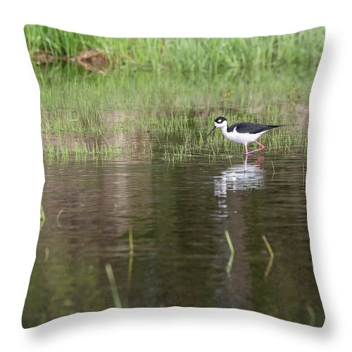 Black-necked Stilt (himantopus Mexicanus) Throw Pillow featuring the photograph Black-necked Stilt 2018-1 by Thomas Young