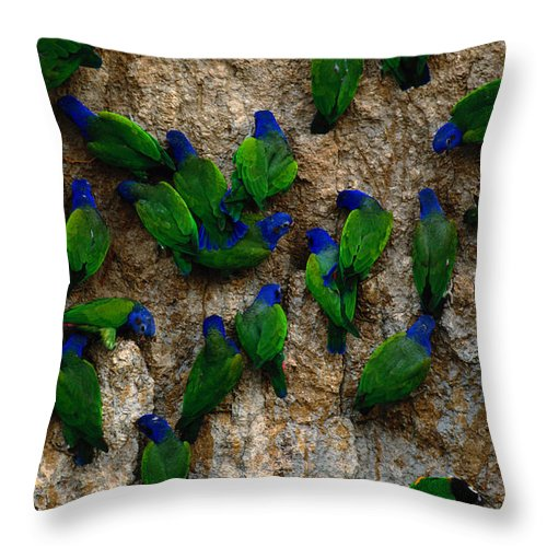 Blue Headed Parrot Throw Pillow featuring the photograph Blue-headed And Barrabands Parrots by Art Wolfe