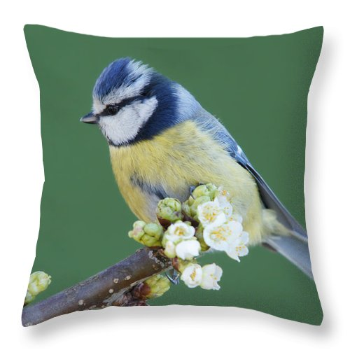 Songbird Throw Pillow featuring the photograph Bluetit On A Blossoming Twig by Schnuddel