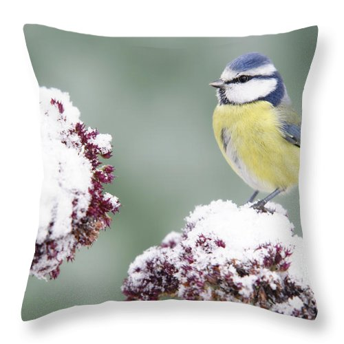 Songbird Throw Pillow featuring the photograph Bluetit On Stonecrop by Schnuddel