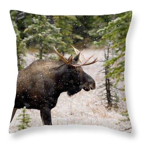 Horned Throw Pillow featuring the photograph Bull Moose In Snow Fall by Tulissidesign