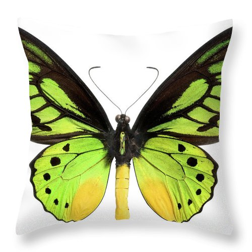 White Background Throw Pillow featuring the photograph Butterfly Lepidoptera With Green, Black by Flamingpumpkin