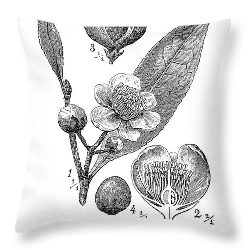 Camellia Sinensis Throw Pillow featuring the digital art Camellia Sinensis, Botanical Vintage Engraving by Luisa Vallon Fumi
