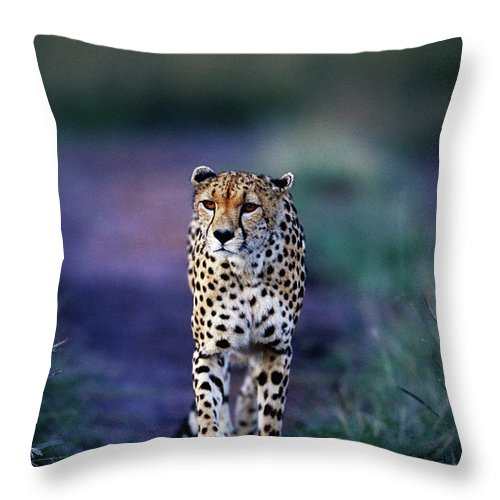 Kenya Throw Pillow featuring the photograph Cheetah Acinonyx Jubatus by Anup Shah
