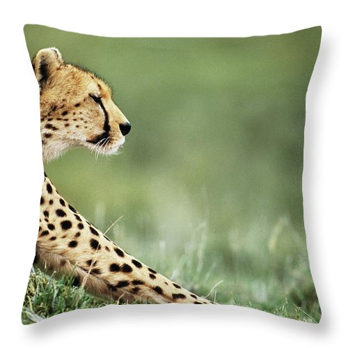 Grass Throw Pillow featuring the photograph Cheetah Acinonyx Jubatus Stretching by Anup Shah