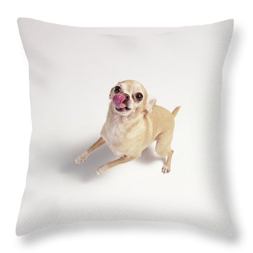Chihuahua Licking With Standing Up Throw Pillow For Sale By Stilllifephotographer