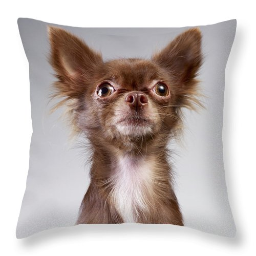 Pets Throw Pillow featuring the photograph Chihuahua Looking Up by Stilllifephotographer