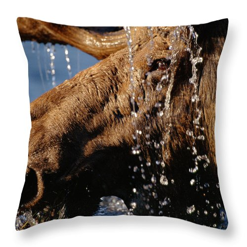 Male Animal Throw Pillow featuring the photograph Close-up Of Bull Moose Alces Alces With by Eastcott Momatiuk