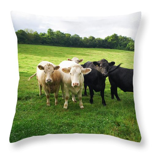 Grass Throw Pillow featuring the photograph Cows Walking In Grassy Field by Peter Muller