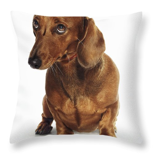 Pets Throw Pillow featuring the photograph Dachshund Looking Up by Gandee Vasan
