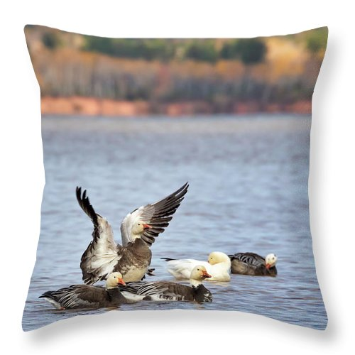 Blue Morph Snow Geese Throw Pillow featuring the photograph Fall Migration At Whittlesey Creek by Susan Rissi Tregoning