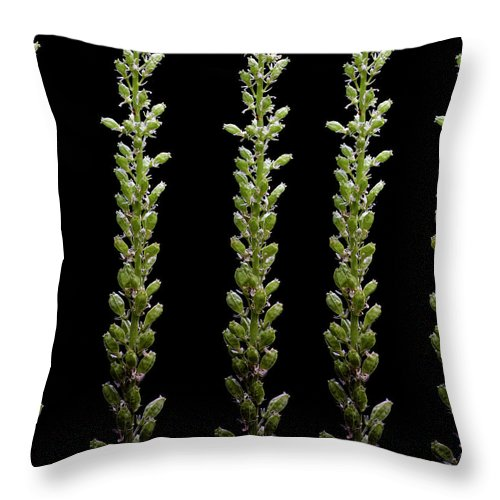 Bud Throw Pillow featuring the photograph Flower Buds On Black Background by Michael Duva