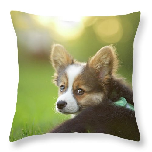 Pets Throw Pillow featuring the photograph Fluffy Corgi Puppy Looks Back by Holly Hildreth
