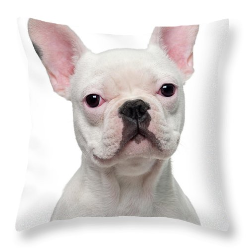 Pets Throw Pillow featuring the photograph French Bulldog Puppy 5 Months Old by Life On White