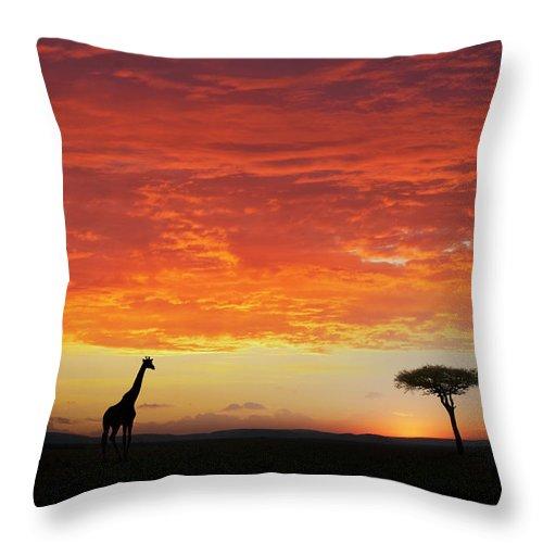 Kenya Throw Pillow featuring the photograph Giraffe And Acacia Tree At Sunset by Buena Vista Images
