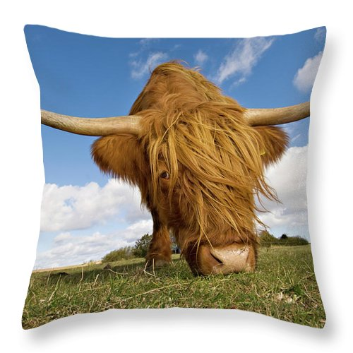 Horned Throw Pillow featuring the photograph Hairy, Horned, Highland Cow Grazing by Clarkandcompany