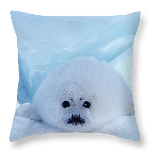 Iles De La Madeleine Throw Pillow featuring the photograph Harp Seal Phoca Groenlandica by Art Wolfe