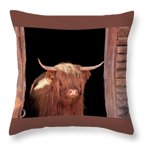 Horned Throw Pillow featuring the photograph Highland Cattle In Barn Door by Kerrick