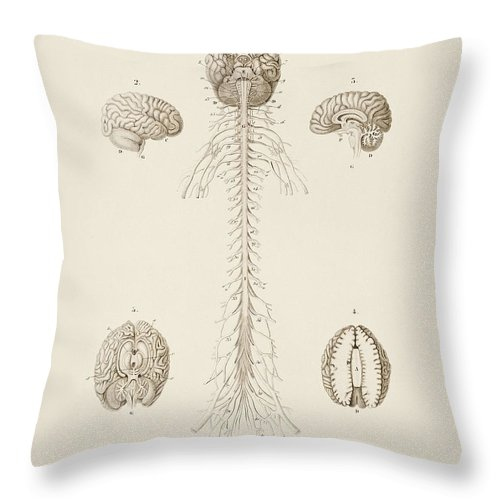 Brain Throw Pillow featuring the painting Human S Brain Illustrated By Charles Dessalines D' Orbigny 1806 1876 by Celestial Images
