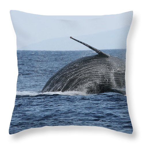Animal Throw Pillow featuring the photograph Humpback Whale Breach 2 Of 3 by Adwalsh