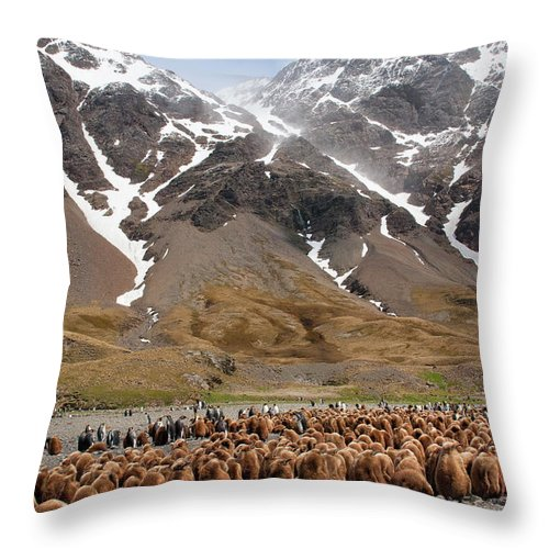 Scenics Throw Pillow featuring the photograph King Penguins Aptenodytes Patagonicus by Gabrielle Therin-weise