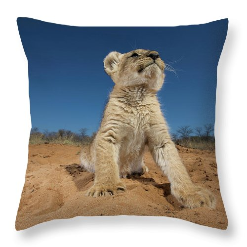Big Cat Throw Pillow featuring the photograph Lion Cub Panthera Leo Sitting On Sand by Heinrich Van Den Berg