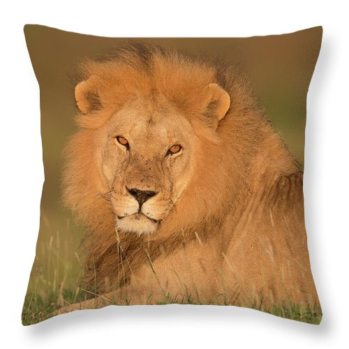 Grass Throw Pillow featuring the photograph Male Lion At Sunrise by Michael J. Cohen, Photographer