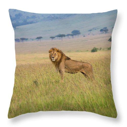 Kenya Throw Pillow featuring the photograph Male Lion In The Savanna Masai Mara by Seppfriedhuber