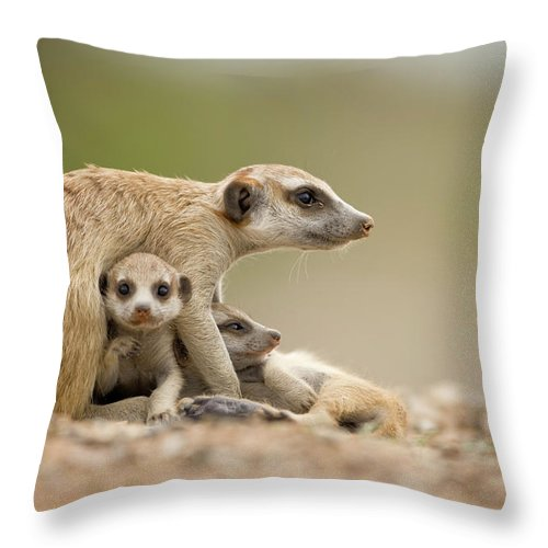 Care Throw Pillow featuring the photograph Meerkat Pups With Adult, Namibia by Paul Souders