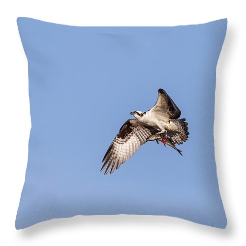 Osprey Throw Pillow featuring the photograph Osprey With Catch 2019 by Thomas Young