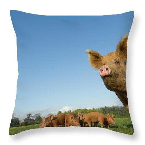 Pig Throw Pillow featuring the photograph Pig In Field by Henry Arden