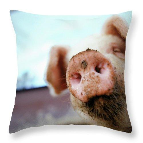 Pig Throw Pillow featuring the photograph Pig by Matt Carr