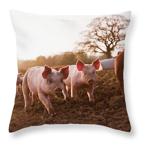 Pig Throw Pillow featuring the photograph Piglets In Barnyard by Jupiterimages