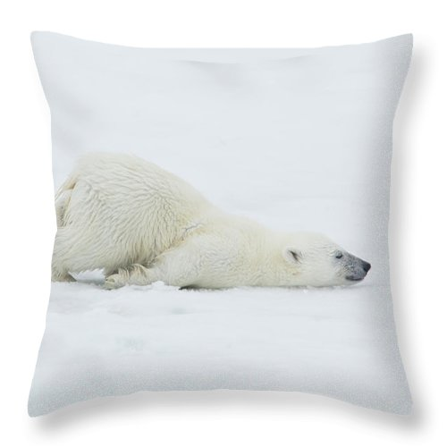 Svalbard Islands Throw Pillow featuring the photograph Polar Bear Cub Stretching Out On Ice by Darrell Gulin