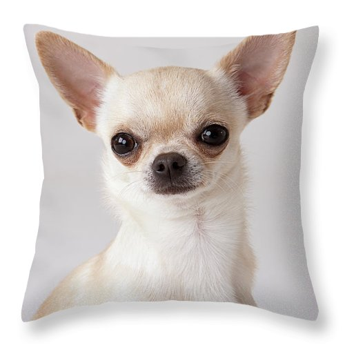 Pets Throw Pillow featuring the photograph Portrait Of Chihuahua by Compassionate Eye Foundation/david Leahy