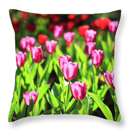 Taiwan Throw Pillow featuring the photograph Purple And Red Tulips Under Sun Light by Samyaoo