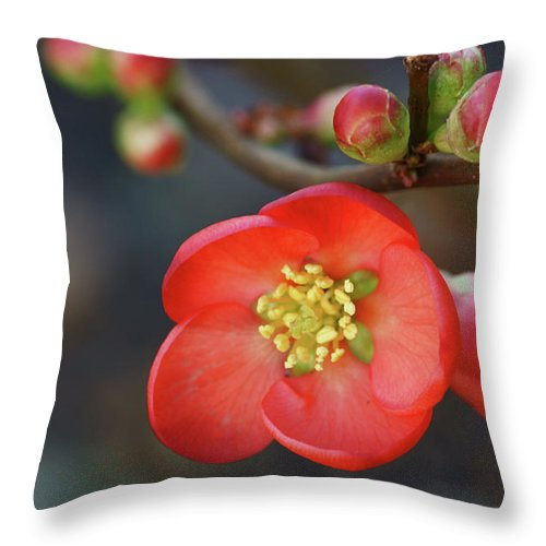 Bud Throw Pillow featuring the photograph Red Flowering Quince by Picture By La-ong