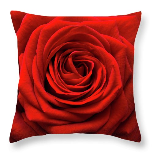 Rose Colored Throw Pillow featuring the photograph Red Rose by Anthony Dawson