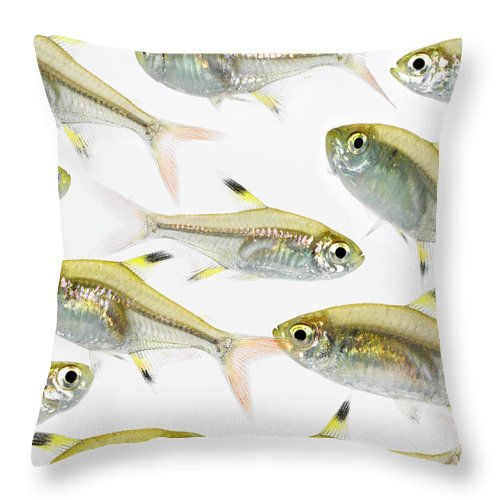 White Background Throw Pillow featuring the photograph School Of X-ray Tetra Fish Pristella by Don Farrall