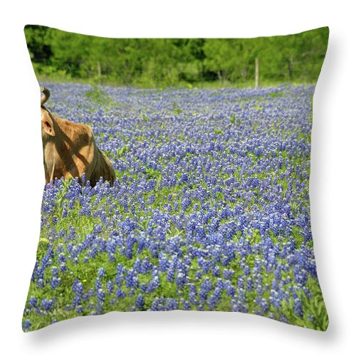 Cow Throw Pillow featuring the photograph Single Cow Resting In A Field Of Texas by Zview