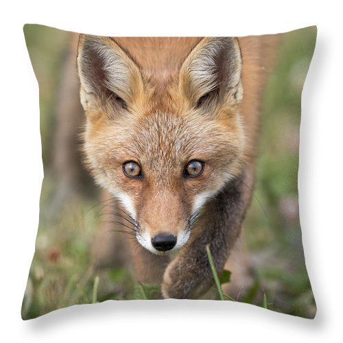 Red Fox Throw Pillow featuring the photograph Stalked by Everet Regal