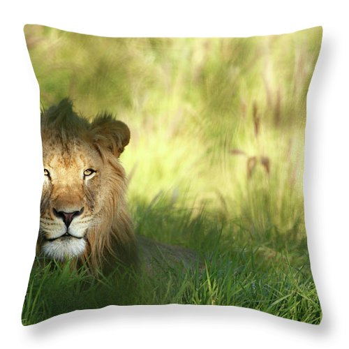 Tropical Rainforest Throw Pillow featuring the photograph Staring Lion In Field Of Grass With by Jimkruger