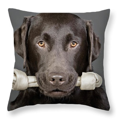 One Animal Throw Pillow featuring the photograph Studio Portrait Of Chocolate Labrador by Justin Paget