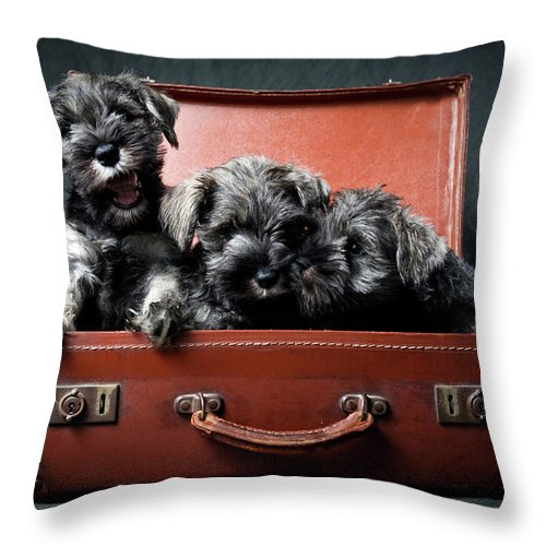 Pets Throw Pillow featuring the photograph Three Miniature Schnauzer Puppies In by Steve Collins / Momofoto