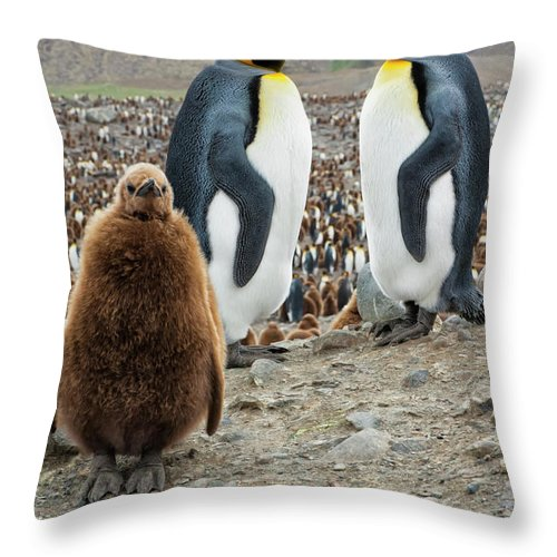 Animals In The Wild Throw Pillow featuring the photograph Two King Penguins And A Chick by Gabrielle Therin-weise