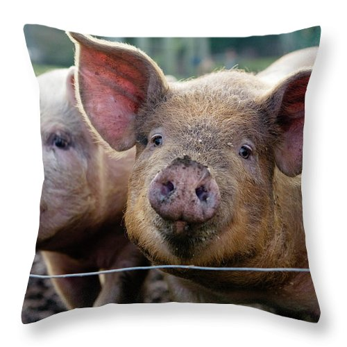 Pig Throw Pillow featuring the photograph Two Pigs On Farm by Charity Burggraaf