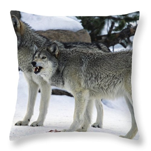 Snarling Throw Pillow featuring the photograph Two Wolves by Judilen