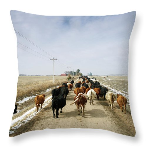 Cattle Drive Throw Pillow featuring the photograph Usa, Nebraska, Great Plains, Herd Of by John Kelly